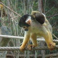 un saïmiri ou singe écureuil et son bébé