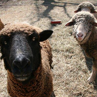 Island Farm's sheep.