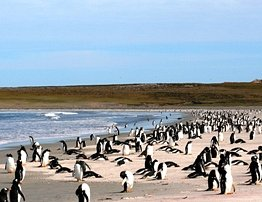 "Penguins on Bluff Cove Lagoon Beach, ""Best Beach for Wildlife"" - Travel Magazine"