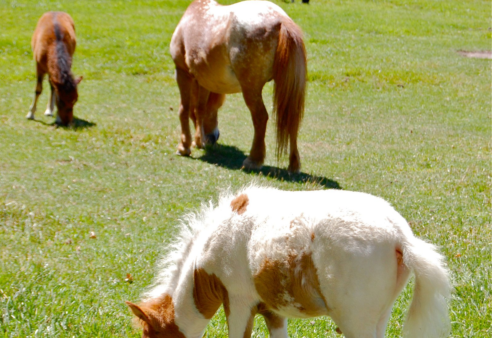 A sampling of the teeniest of horses!