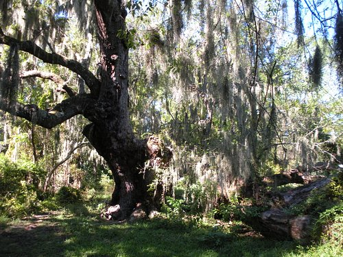 Oak with spanish moss
