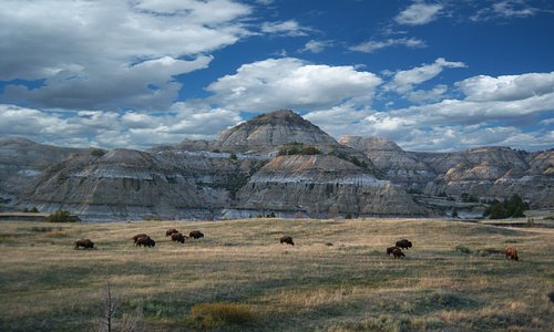 Buffalo Herd in Theodore Roosevelt National Park