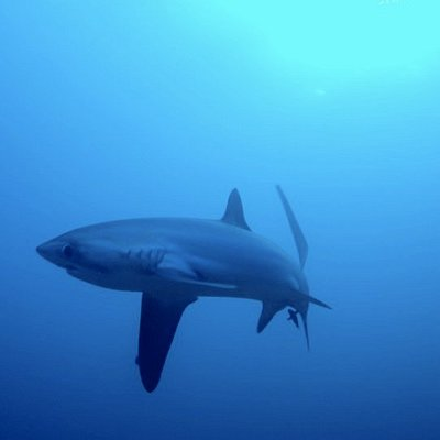 Threasher Shark