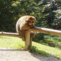 Berberaffen auf dem Affenberg