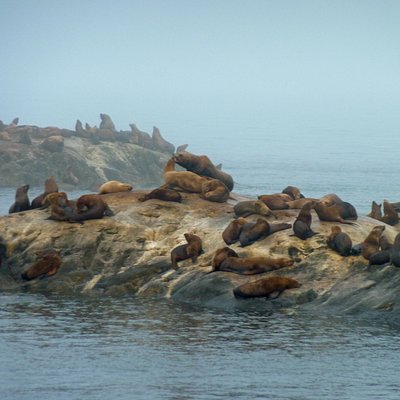 Sea lions in the mist