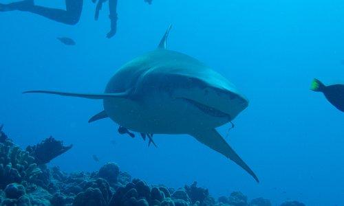 Lemon Shark Bora Bora