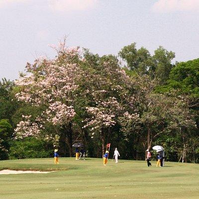 タイ桜のそばでプレー