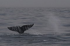 Gray Whale fluking
