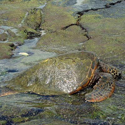 Kahalu'u Beach Park - Sea Turtle