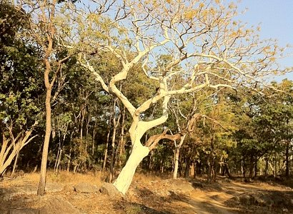 Ghost tree @ Pench
