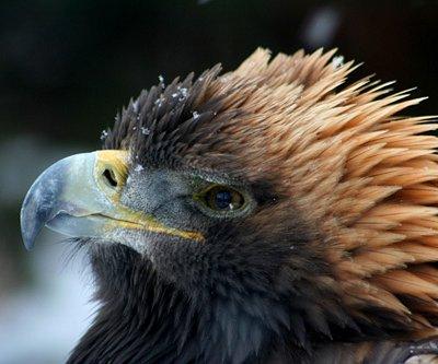 Resident golden eagle at Hallam Lake.