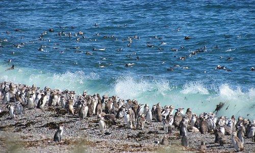 Magellenic Penguins at Punta Tombo