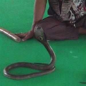 show des cobras !