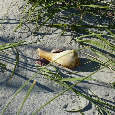 Beautiful shells in the sea grass on the beach of Shackleford Banks