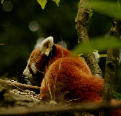 Red Panda in Zoologocal Park, Darjeeling