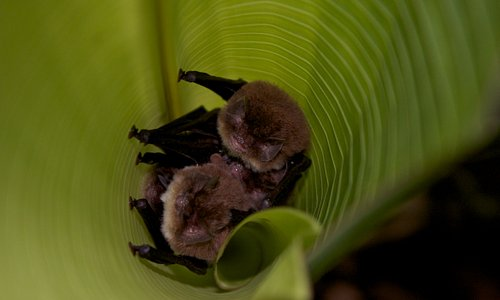 Sucker-toe bats as pointed out by Nito inside a rolled leaf
