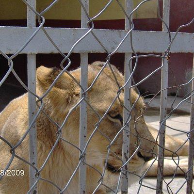 beyaz aslan