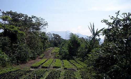 The nursery of coffee plants before planting