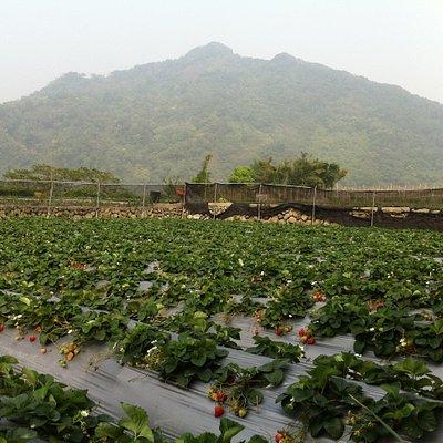 Strawberry fields among Miaoli's mountains