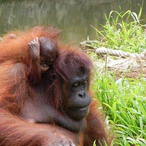 Orang utan is one of the indigenous species in borneo.