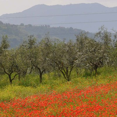 Olive orchard with poppy fields.