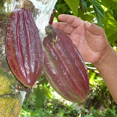 The whole cacao fruit on a tree.