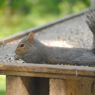 Flat Squirrel is Flat