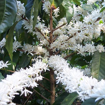 Coffee Flower.