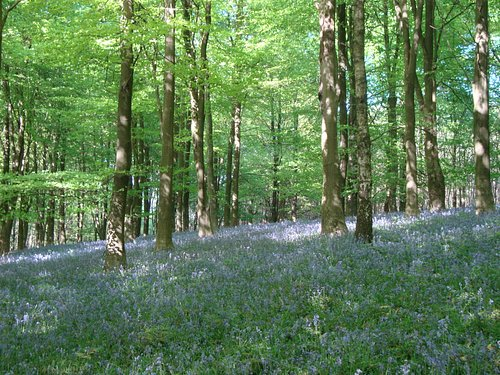 Bluebells in King's Wood