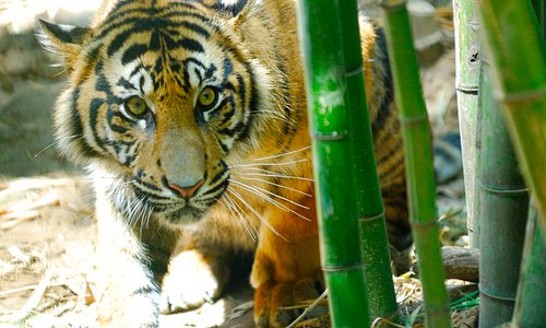 Tiger 1.  He was far enough I was able to get my lens through the fence.