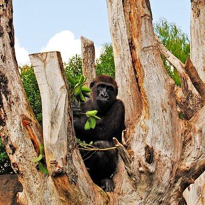 El gorila Kabuli en el árbol