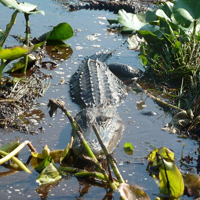 "This ""6-7 ft. gator"" was just a few feet in front of our boat!  (Diane W)"