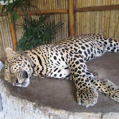 Wunderschöner Leopard