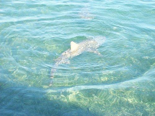 Lemon shark in shallow water.