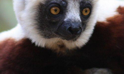 a Lemur at the Croc Farm