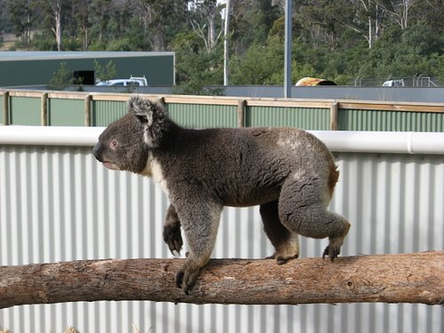 Koala's are close up.