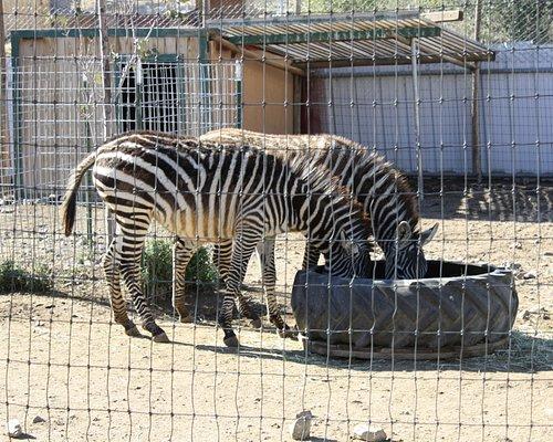 Sierra Safari Zoo Zebras
