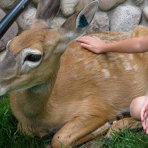 petting the deer