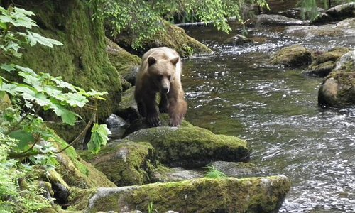 Brown Bear on hunt