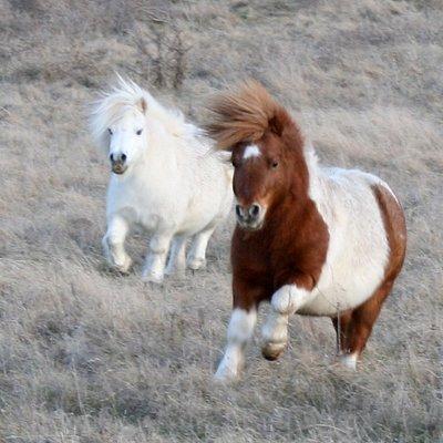 The ponies enjoying a romp across the farm