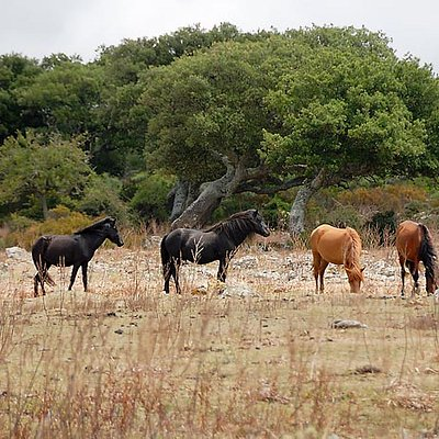 The wild horses at the Giara di Gesturi plateau