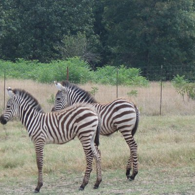 Two young zebra.