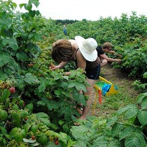 Picking raspberries towards the end of the season