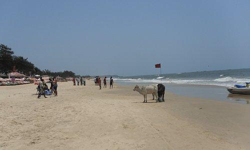 Baga Cows