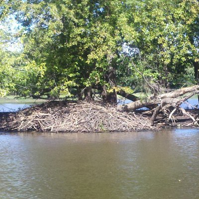 Beaver lodge on Mississippi, lots of wildlife
