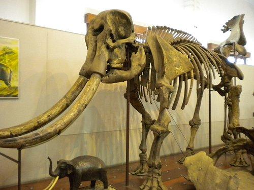 not so ancient elephant skeleton