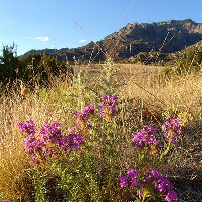 Verbena wildflowers in the foothills