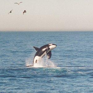 Orcas / Killer Whales