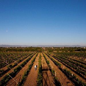 Disfruta de nuestros viñedos