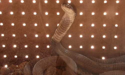 Nice little cobra - down boy!